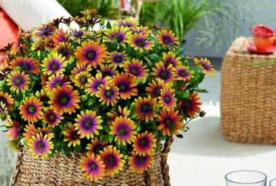 Header Osteospermum Purple Sun lifestyle