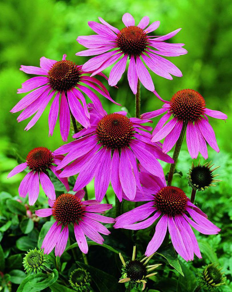 echinacea purpurea prairie splendor. Black Bedroom Furniture Sets. Home Design Ideas