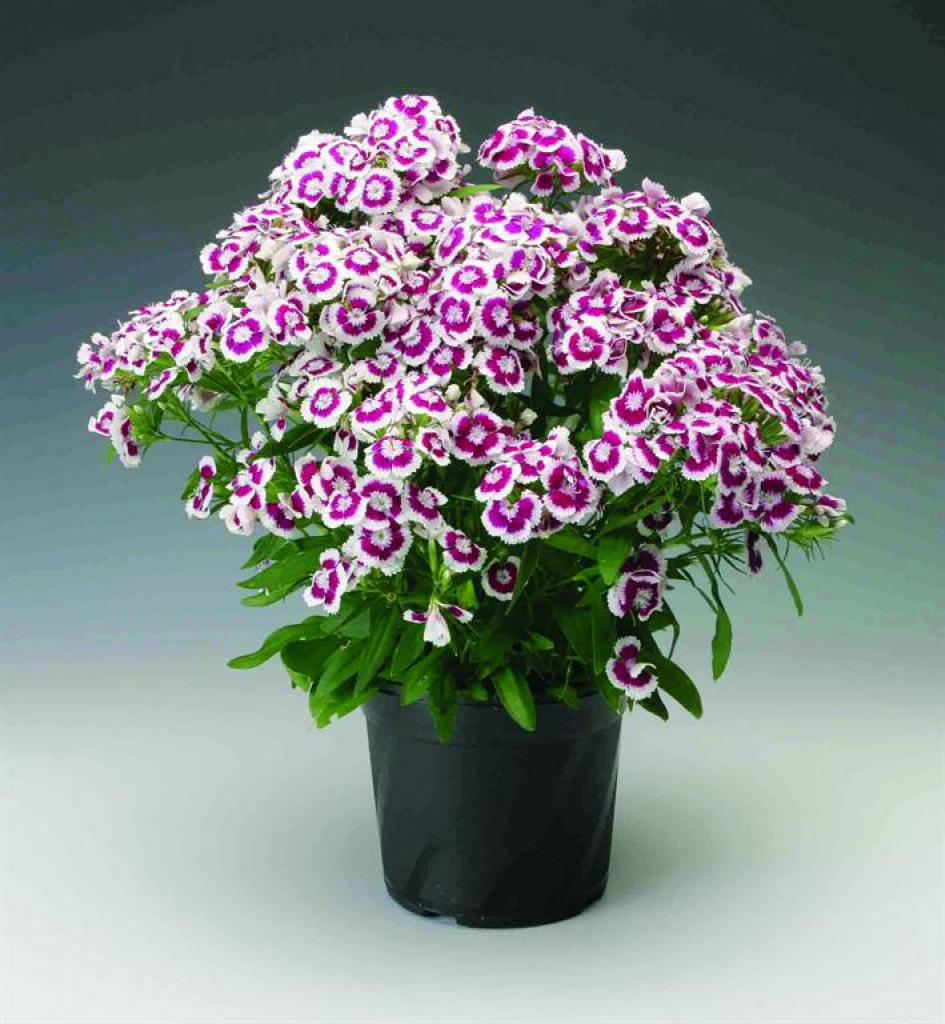 dianthus x barbatus diabunda purple picotee. Black Bedroom Furniture Sets. Home Design Ideas