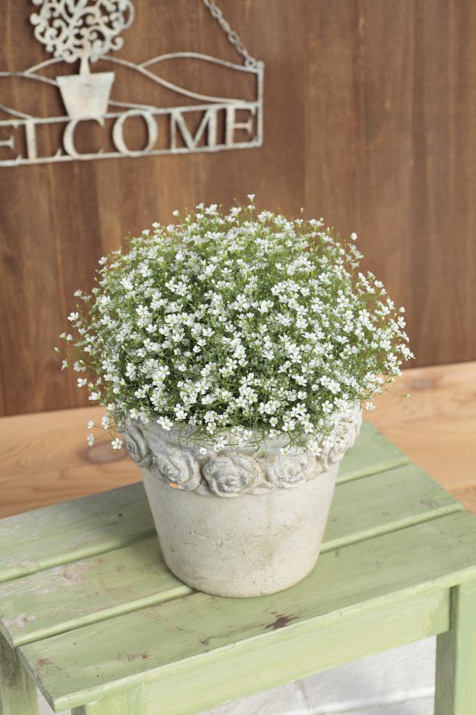 Gypsophila muralis gypsy white awards mightylinksfo