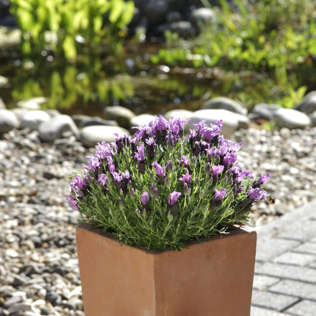 Lavandula stoechas bandera purple - Growing lavender pot ...